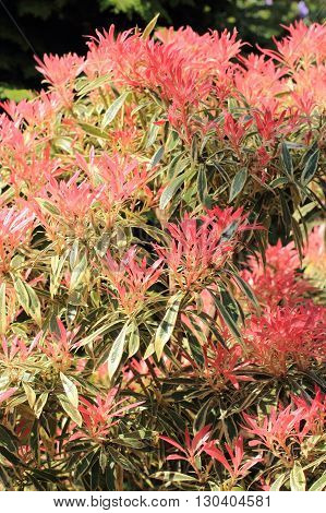 Beautiful Pieris 'Forest Flame' in spring garden