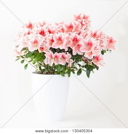 Pink and white azalea flower plant in white pot on light background
