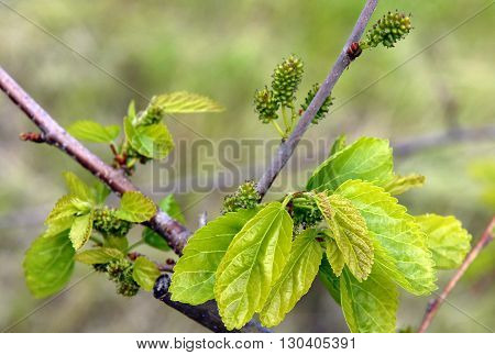 Branch Of The Mulberry Tree With Unripe Berries