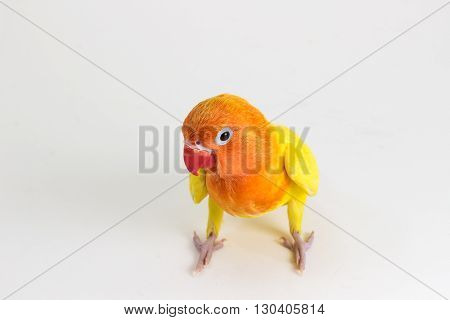 The Double Yellow Lovebird on white background