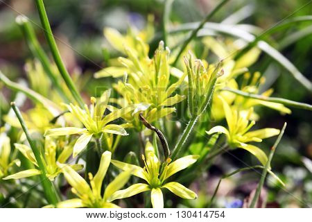Gagea lutea - spring flowers in the park