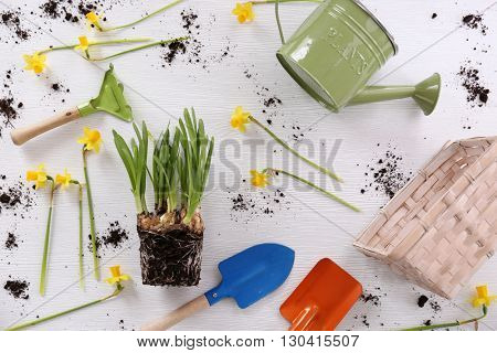 Narcissus seedling on wooden background