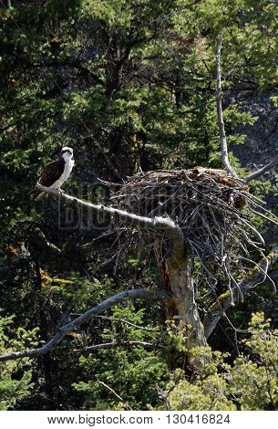 A peregrine falcon stands near it's nest in Yellowstone National Park