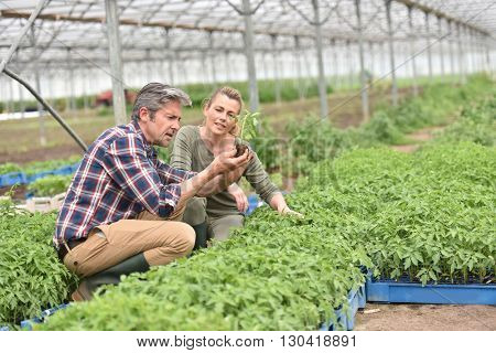 Couple of farmers checking plants in greenhouse
