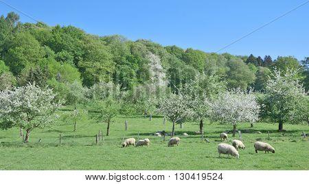 Springtime at Solingen Fruit Trail in Bergisches Land,North Rhine Westphalia,Germany