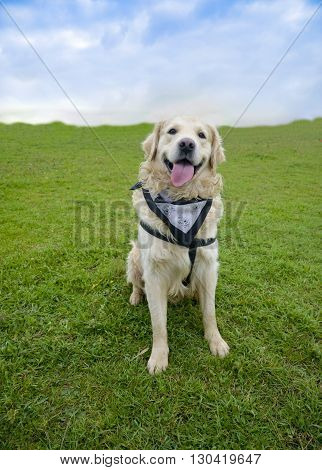 Golden Retriever on the green grass field smiling happy cute dog.