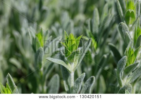 Fresh green mountain tea field closeup background