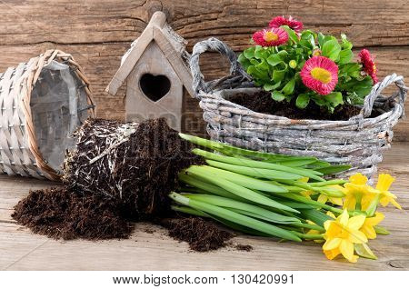 Planting fresh spring flowers in rattan pots
