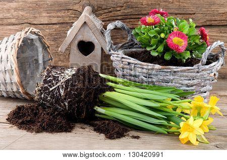 Planting fresh spring flowers in rattan pots