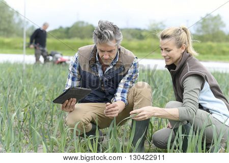 Farmers in field inspecting crop quality