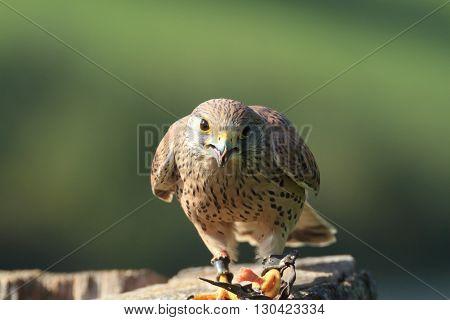 European Kestral falco tinnunculus perched on tree stump eating