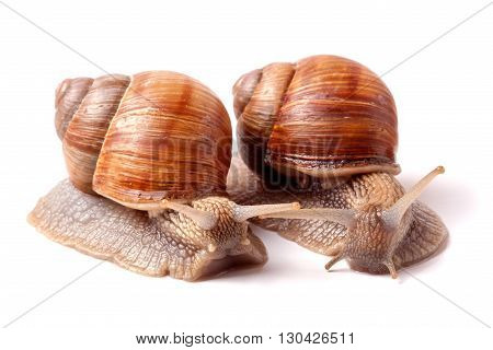 two live snail crawling on a white background close-up macro.