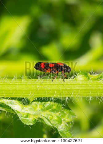 black beetle with red spots (Tricephora vulnerata) on a green stem plants