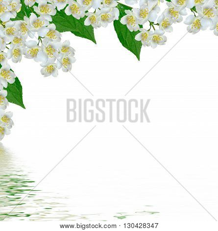 White jasmine flower. The branch delicate spring flowers. branch of jasmine flowers isolated on white background. spring flowers