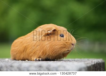 adorable red guinea pig posing outdoors in summer