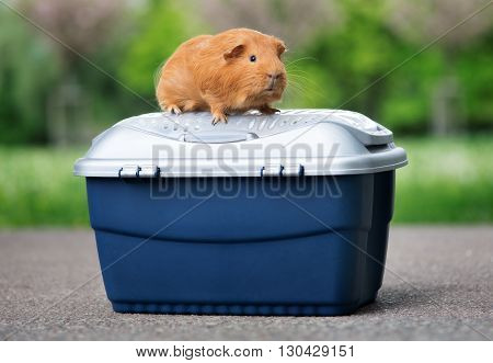 red guinea pig posing on a pet crate outdoors