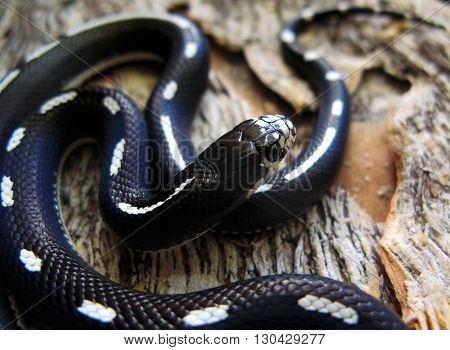 California kingsnake, Lampropeltis getula californae, with black and white dot-dash striped pattern.