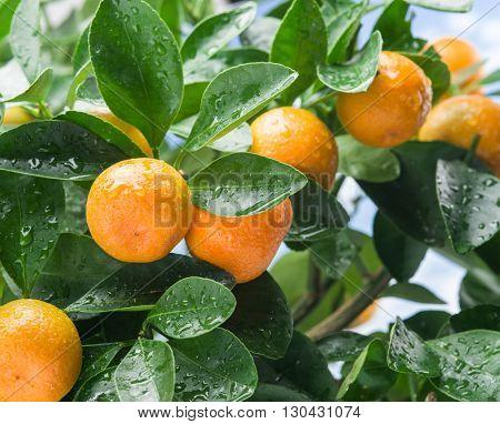 Ripe tangerine fruits on the tree. Blue sky background.