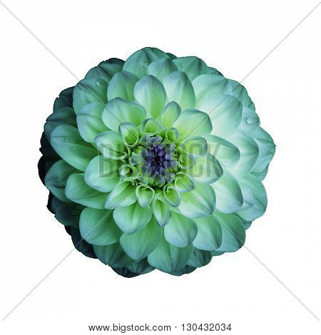 Dahlia flower isolated on white background. It can be used in website design and printing. Suitable for designers. Closeup. Cyan.
