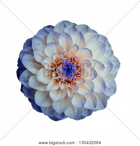 Dahlia flower isolated on white background. It can be used in website design and printing. Suitable for designers. Closeup. Lilac orange.
