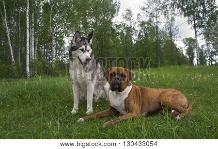 several dogs outdoors,Breed of a dog boxer and malamute, Dog dog, Brown, Tiger strips,color white with gray and black,the wood,lies on a grass,