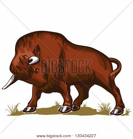 buffalo in an attack posture standing on the grass