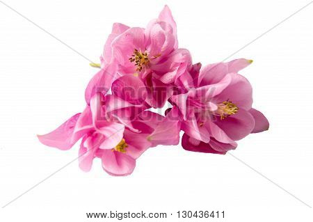 Beautiful pink flowers Aquilegia with thin stems on an isolated white background