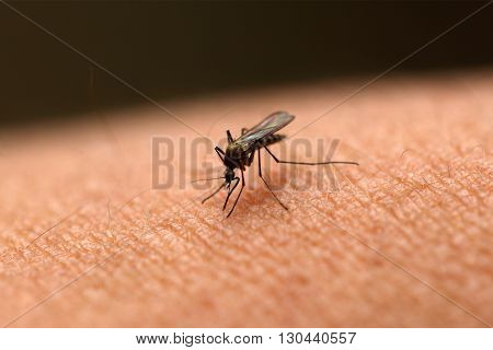A Mosquito sucking human blood on a skin.