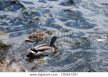 A mallard and a pacific black duck swimming in the water.