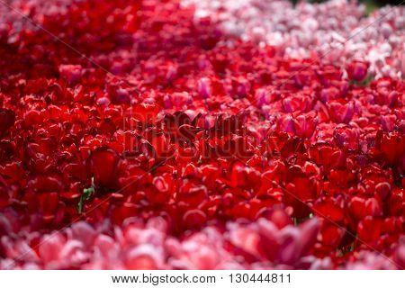 Pink, Red And Orange Tulip
