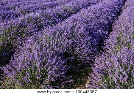 Harvesting lavender flowers for the perfumery industry
