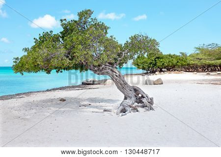 Divi divi tree on Aruba island in the Caribbean Sea