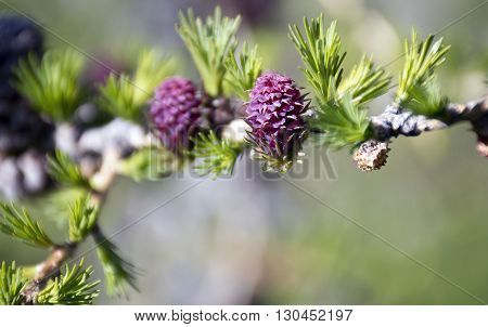 New cones of mountain pine hamate, in the spring.