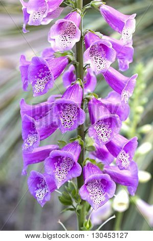 Digitalis purpurea (foxglove) flowers details closeup. This species belongs to the Scrophulariaceae family