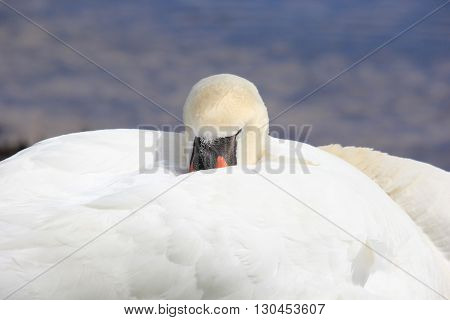 Mute Swan resting on the shores of Lake Michigan near Traverse City, Michigan
