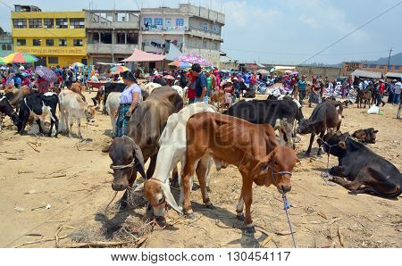 QUETZALTENANGO GUATEMALA APRIL 28 2016 : People sale young bulls and veals Quetzaltenango maket. This native market is the most colorful in Central America