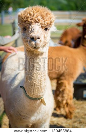 Alpaca in the field of Martha's Vineyard