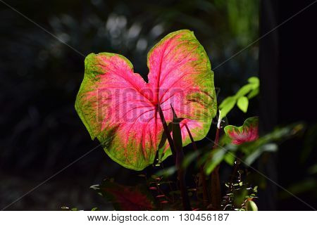 A Caladium Leave in the Nature Coast Botanical Garden in Spring Hill, Florida.