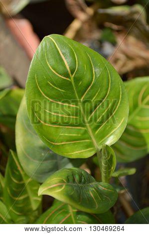 close up fresh green aglaonema sithiporn leaves