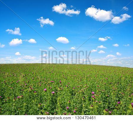 Field with Silybum marianum (Milk Thistle), Medical plants.