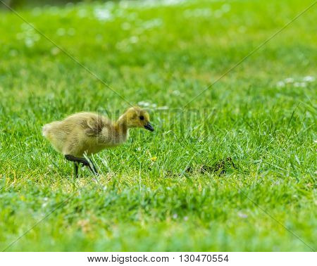 Young Canada goose chick walking on grass