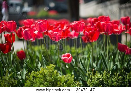 Tulip. Beautiful bouquet of tulips. colorful tulips. tulips in spring colourful tulip. Shallow depth of field
