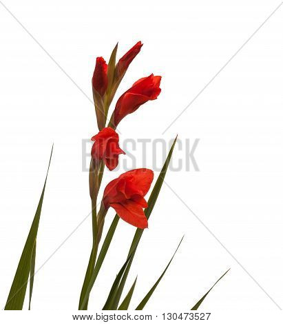 Red Gladiolus on a white background isolated