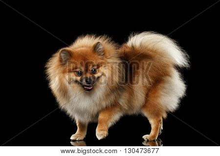 Fluffy Cute Red Pomeranian Spitz Dog Standing isolated on Black Background in Front view