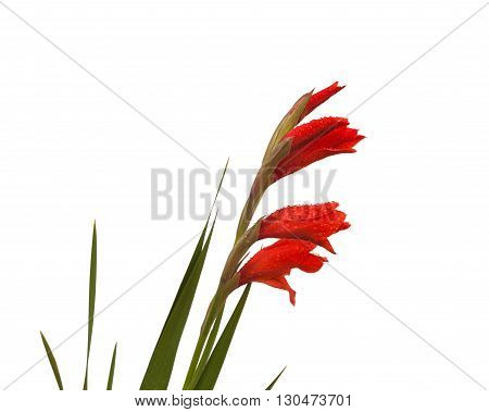Red Gladiolus in drops of dew on a white background isolated