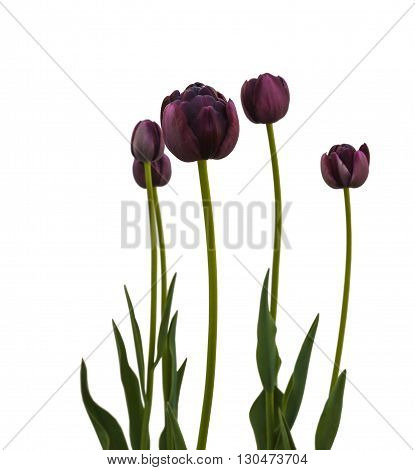 Group of black late tulips