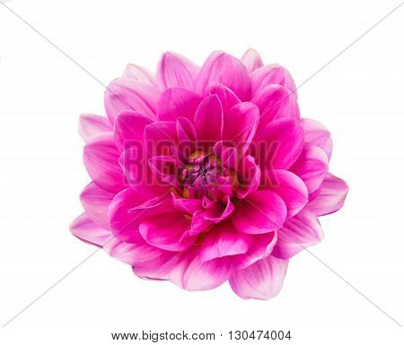 floral, pink dahlia isolated on white background