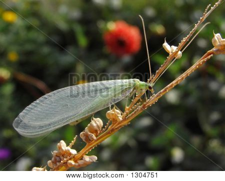Golden-Eye (Chrysopidae)