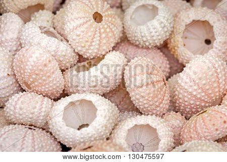 See urchin shells, closeup, can be used as background