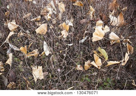 Dead leaves fallen on leafless bush in Autumn